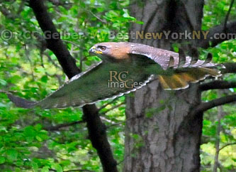 Red-Tailed Hawk _Flight_Brooklyn_NY_ Prospect_Heights